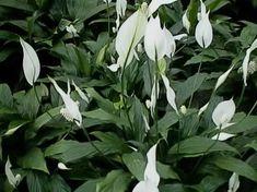 Peace Lilies in Bloom, Spathiphyllum floribundum