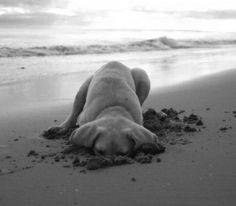 sand, ball, bone, at the beach, puppi, lab, little dogs