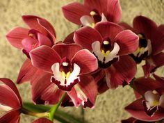 Red Cymbidium Orchids
