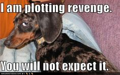 Dachshunds really think this... and it will probably come in the form of poop in the hallway.