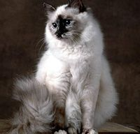 The Birman Cat's Personality