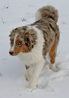 Red Merle Australian Shepherd