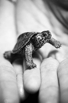 Turtle Hatchling. °