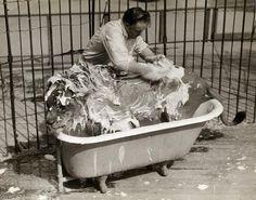 Scrub-a-dub-dub a lion in a tub