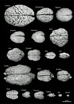 A comparative look at the brain sizes of different species