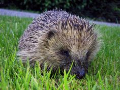 Obesity Epidemic Hits Hedgehog In England ... #pets #animals ... PetsLady.com