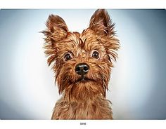 Pictures of Ernie a Yorkie, Yorkshire Terrier Mix for adoption in New York, NY who needs a loving home.