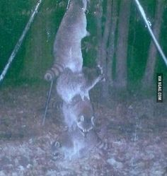 So I set my deer feeder high off the ground so the raccoons couldn't reach it...