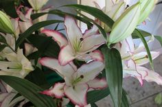 This new variety, called 'The Edge,' is one of the new Oriental lilies that will be introduced in 2012.