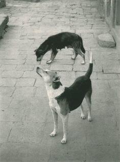 nepal 1994, photoey galleri, anim, dogs, swayambhunath, art, pentti sammallahti, nepal pentti, photographi