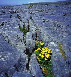 Flowers find a way to survive in The Burren. Ireland