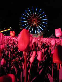 Tulips at Floriade NightFest Canberra - Australia