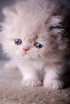 That face!!   (Betsy Cole Photography) Persian kitten