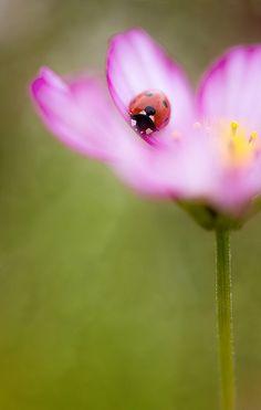 Cosmos ladybug