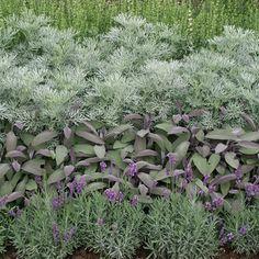 Lavender, purple sage, artemesia