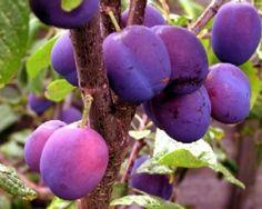 Plum pretty plums...