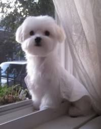 Maltese.  Doesn't shed, hypoallerergenic, good with kids, smart, max weight 6lbs, looks like a puppy for life.  I have to challenge the max weight statement.  My full-blooded maltese weighs 14 lbs.  His parents were 4 lbs. and 6 lbs...go figure!