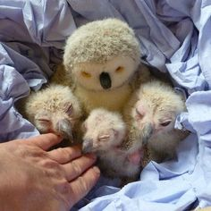 """baby owls and their """"foster mother"""""""