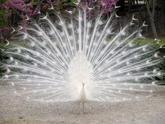 This peacock is not an albino; it is a rare white variant of its normally colorful counterpart.