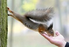 Minsk, Belarus: a squirrel stretches to eat a nut from a man's hand in a park  Photograph: Tatyana Zenkovich/EPA