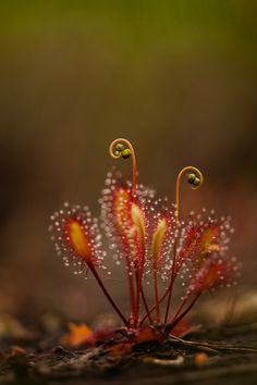 The Sundews (Drosera) are one of the largest genera of carnivorous plants, with at least 194 species.
