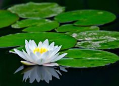 Asian Water Lilies (and Lotus Flower)