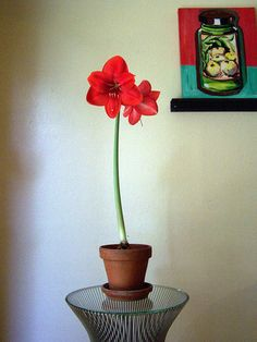 How to Force an Amaryllis by houzz: Prized for its willingness to produce large lily-like trumpet blooms, which generally last indoors for several weeks, amaryllis can be forced yeer after year... #Indoor_Garden #Flowers #Amaryllis