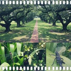 Went to Oak Alley Plantation yesterday. So gorgeous. And I met these creatures. #oakalley #plantation #louisiana #trees #nature #lizard #dragonfly #grasshopper #hiii