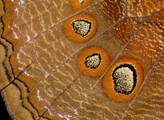 Butterfly Anatomy - Wings  Close enough to see the scales...