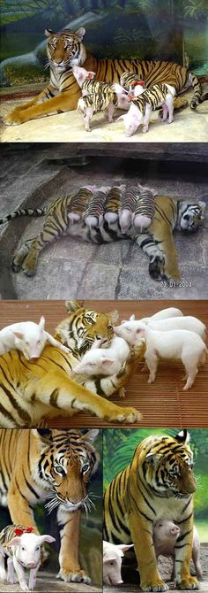 A tiger mother lost her cubs from premature labour. Shortly after she became depressed, her health declined & she was diagnosed with depression. So they wrapped up piglets in tiger cloth & gave them to the tiger. The tiger now loves these pigs & treats them like her babies.