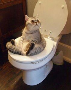 Cat using toilet