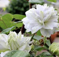 "Your garden will shine with the cool, white blooms of the Diamond Ball Clematis. The double blooms show June through August for this long blooming clematis. Easy to grow Clemati Disease resistant. Prune to 18 inches tall in early spring. ""Feet in the shade - head in the sun"" - the old saying for growing clematis. The roots need to be in an area where they stay cool, but the vine is in sunshine. Can keep roots cool with mulch. Grows on a fence or trellis. #perennials #flowers #gardeningismyth"