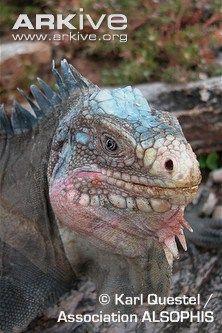 Endangered Species of the Week: Lesser Antillean iguana