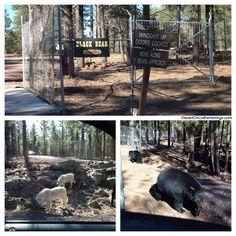 Bearizona Wildlife Park Review in Northern Arizona