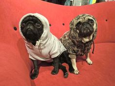 Brix's pugs in hoodies