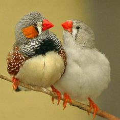 Australian finches having a different of opinion. Cute!