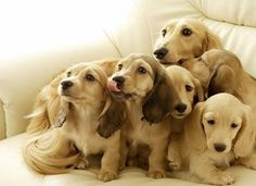 puppies, anim, dogs, family portraits, long hair, pet, dachshunds, families, cream