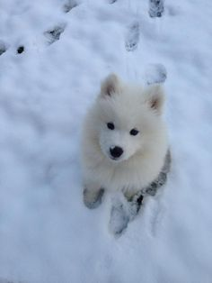 Samoyed puppy - Can't wait till I have one of these babies :)