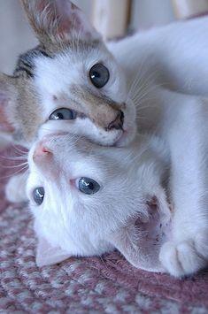 Cat love - Follow us @showmeCats - #showmecats #thesocial