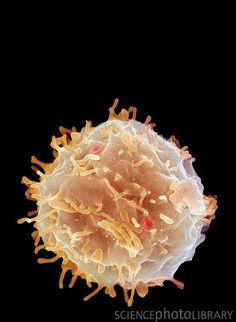 Stem Cell.  Electron Microscopy