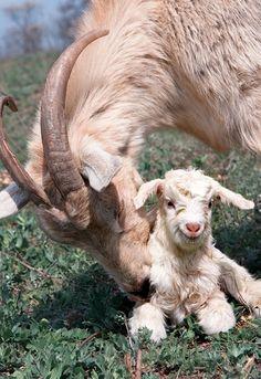 adorable  sheep and lamb