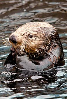 Vancouver Aquarium's live Sea Otter Cam. My new daily moment of zen.