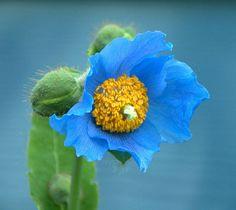 Himalayan Blue Poppy Bouquet Himalayan blue poppy photo