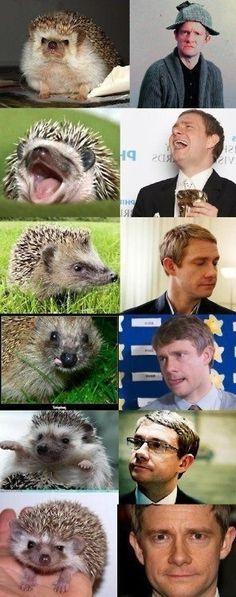 After otters like Benedict Cumberbatch, tumblr now presents hedgehogs like Martin Freeman #Sherlock