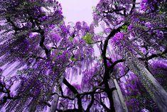 purple rain, waterfalls, japan, parks, flowering trees