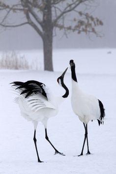 japanes crane, japanese cranes, japanese birds, black and white animals, black white