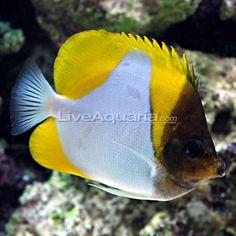 Reef Safe Fish On Pinterest Fish Aquariums Reef