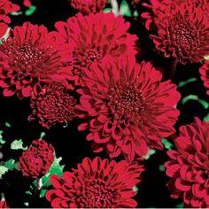 Chrysanthemum 'Brandi' -- Garden Mum