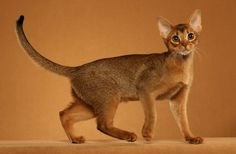 Abyssinian Cat.. want one of these too!!!