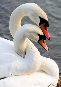 White Swans For a lifetime together.